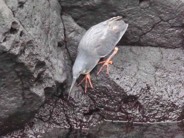 Lava Heron.