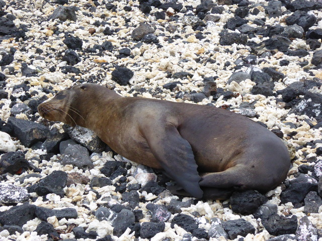 Baby sea lion napping.