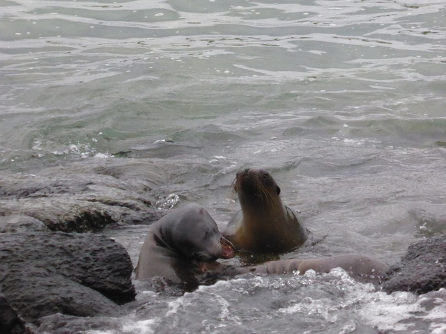 Juvenile sea lions playing in the shallow water.