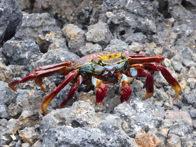 Sally Lightfoot crab, so called because it walks on it's tiptoes. They are black when young, their bright colors only show up as they reach sexual maturity.