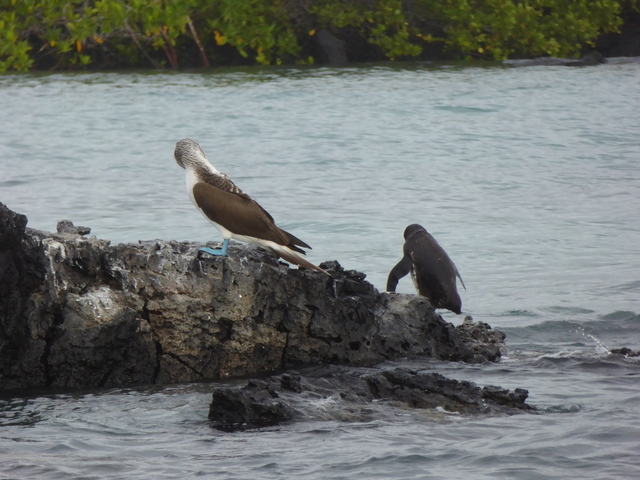 Blue-footed Booby and a Galapagos Penguin.