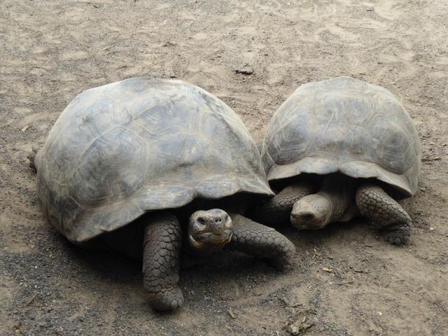 Galapagos Giant Tortoises.