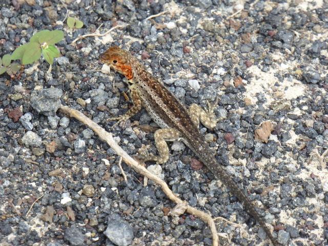 Female laval lizard.
