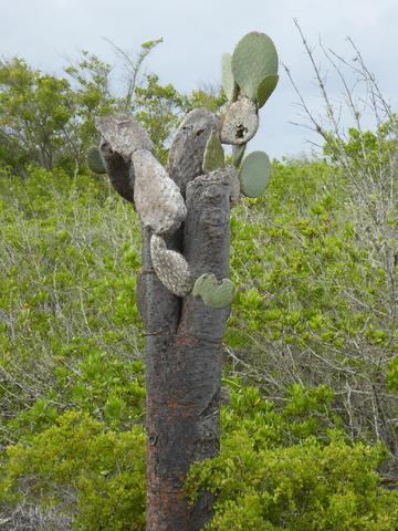 Prickly Pear cactus. I had no idea they grew tall like this!