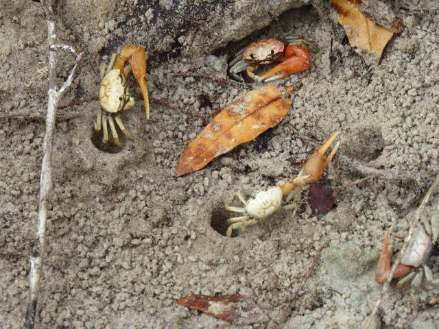 Fiddler crabs.