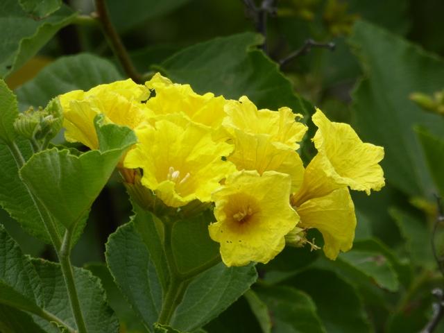 Yellow Geiger.