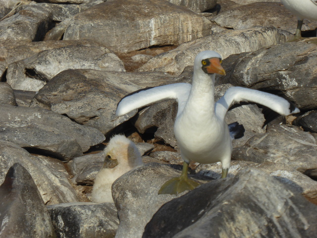 Nazca booby with a chick.