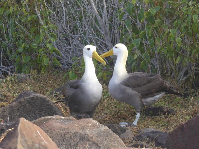 Wave albatrosses doing their mating dance.