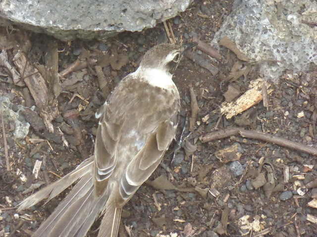 Galapagos Mockingbird I think?