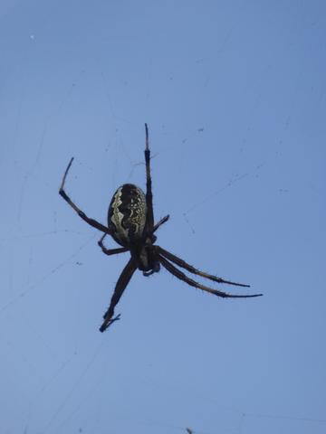 Big-ass orb spider!