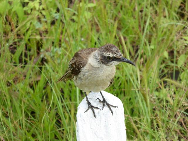 Galapagos Mockingbird.