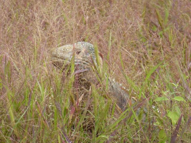 A rare species of land iguana.