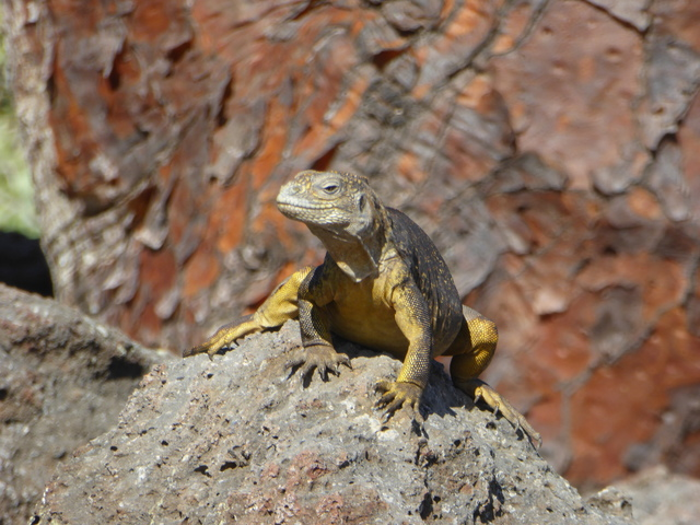 Hybrid land / marine iguana. The two species interbreed, but the hybrids are infertile.