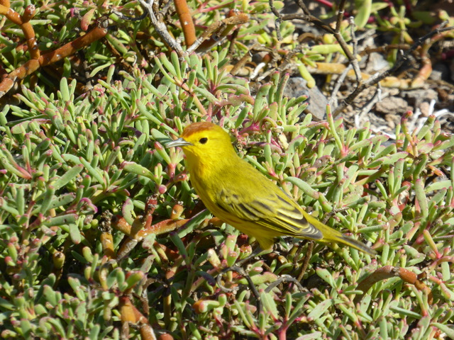Yellow Flycatcher.