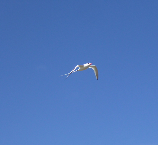 Tropicbird.