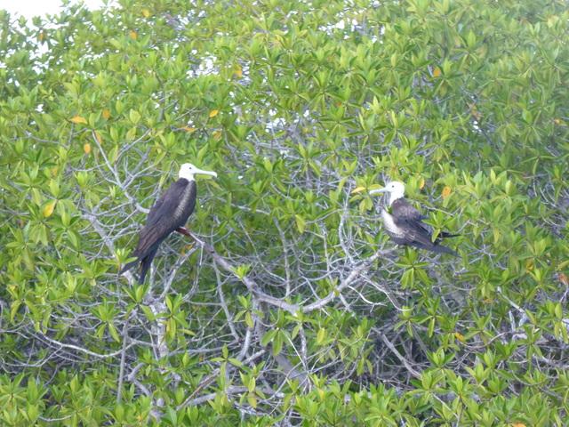 Perched frigate birds.