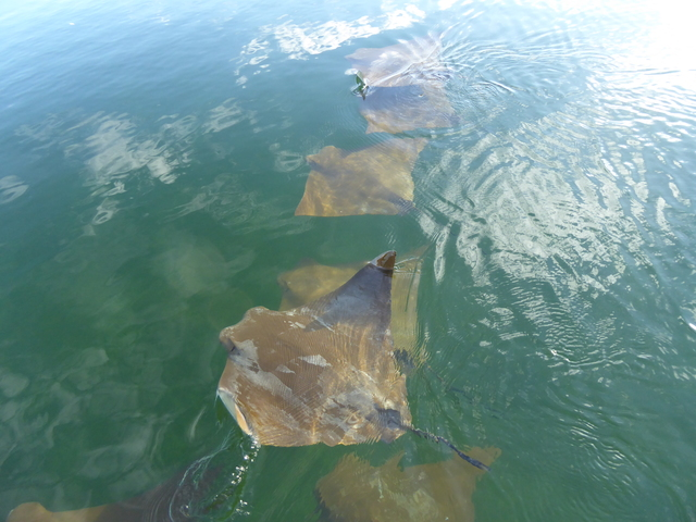 Golden Cownose Rays.