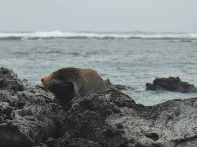 I *think* this is a fur seal, rather than a sea lion. It's a bit hard to tell them apart, but the seals are bigger and have a more stubby nose.