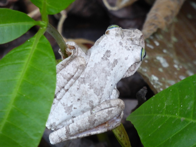 This tree frog is the color of tree bark with a certain fungus growing on it. Now that's specialization!
