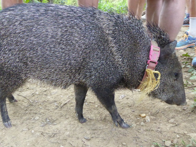 This is a (not so) wild pig that some locals keep as a pet. So cute!