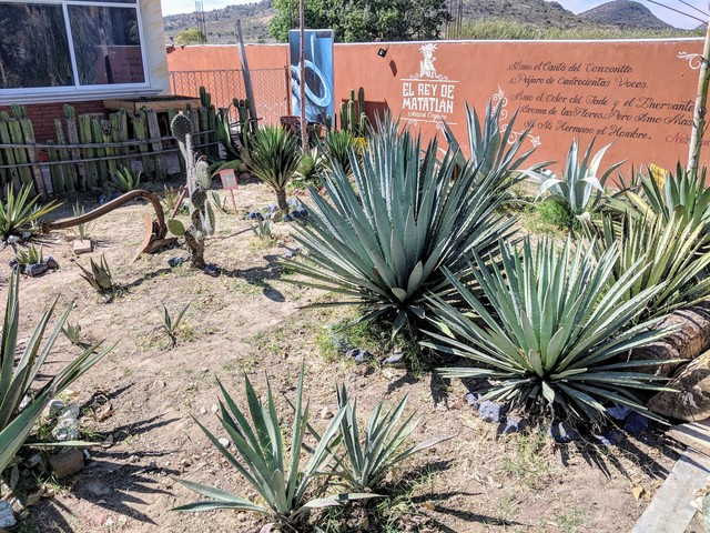 Different types of agave that can be used to make mezcal.