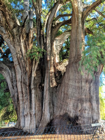 El Árbol del Tule, the widest tree in the world! Zapotec legend is that it was planted 1,400 years ago by a Zapotec priest.