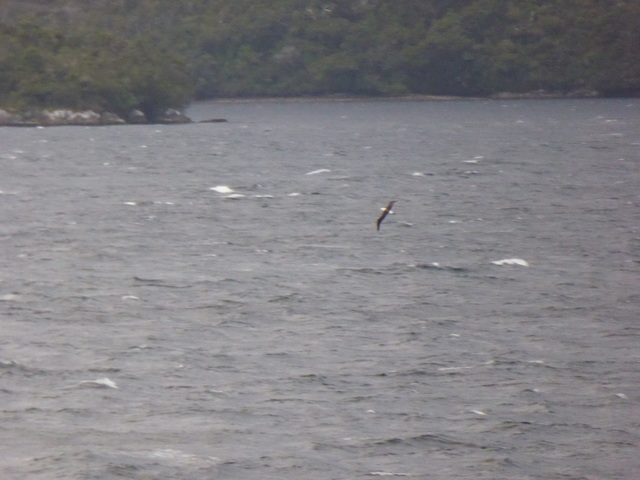 Not a very good picture of a black browed albatross.
