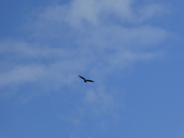 Andean Condor!