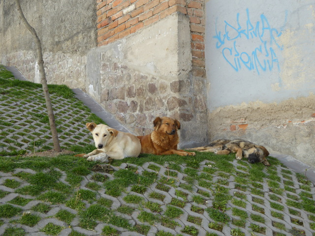 Lazy street dogs chillin.