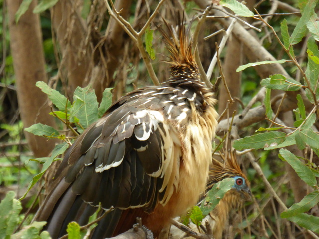 These are hoatzin, also known as stinkbirds. It is the only bird to use fermentation to digest its food, similar to a cow, hence the nickname. Special thanks to my brother the bird nerd for this information!