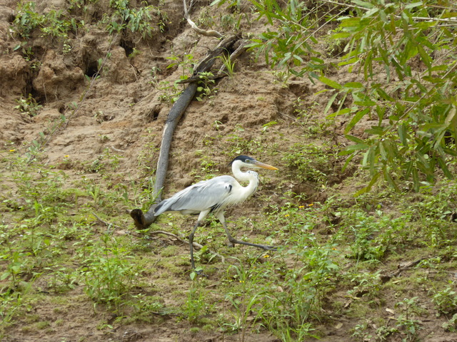 This is a cocoi heron, which are common throughout South America.