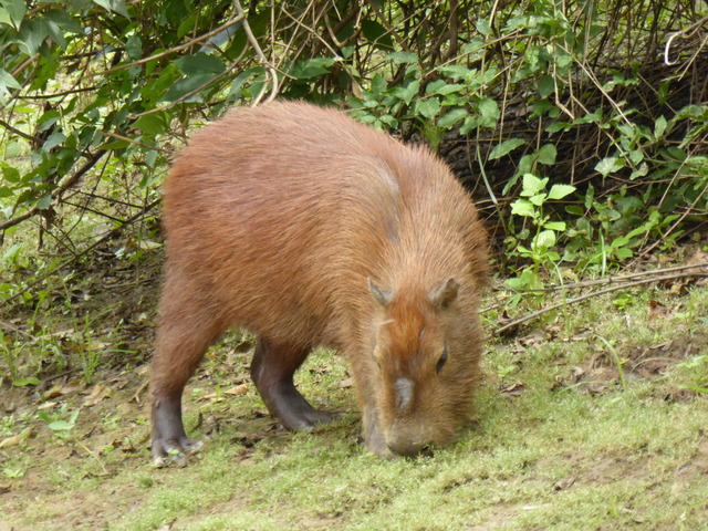 Capybaras, unlike most rodents, are herbivores. They are very picky about what they eat as well, though during the dry season they have fewer choices.