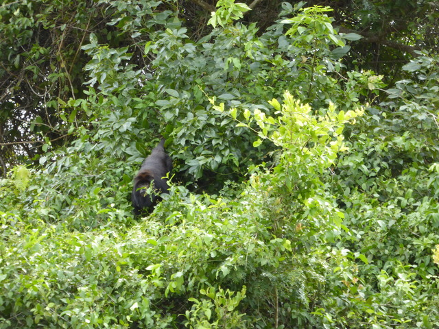 This is a howler monkey, though they didn't live up to the name when I saw them.