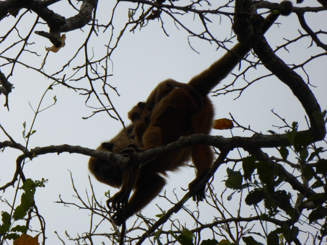 This appears to be a female howler monkey with a baby on her back.