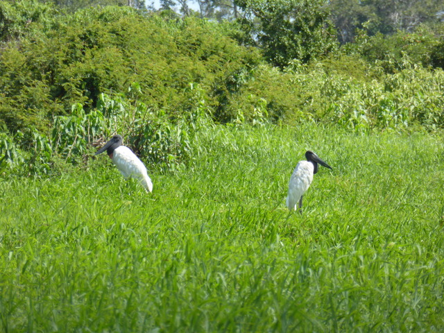 Jabiru, the tallest flighted bird in south and central America. I would guess these were over four feet tall.