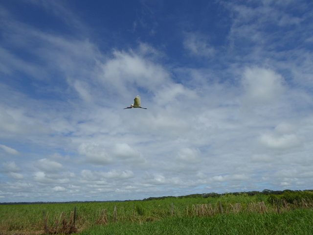Jabiru flying.