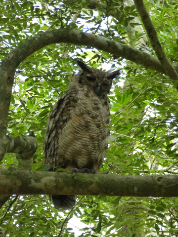 South American great horned owl.