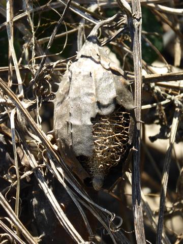 Strange seed pod.