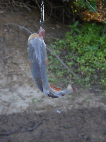 This is a red bellied piranha that I caught and ate.