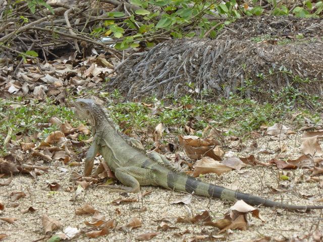 Iguana!