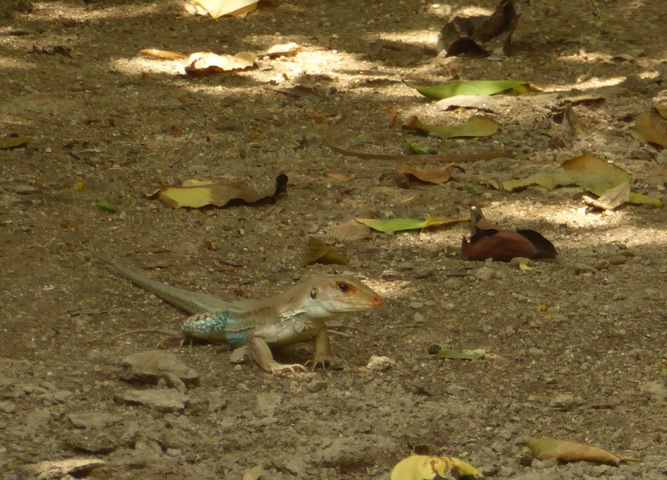 These things were everywhere, but really hard to photograph. I think they are rainbow whiptail lizards.