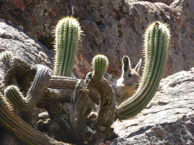Another viscacha. If you look in the lower left, through the gap in the cactus, you can see one of its babies.