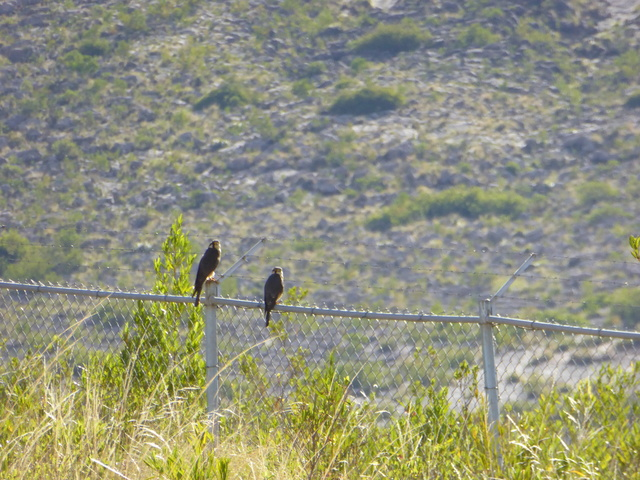 A pair of Aplomado falcons.