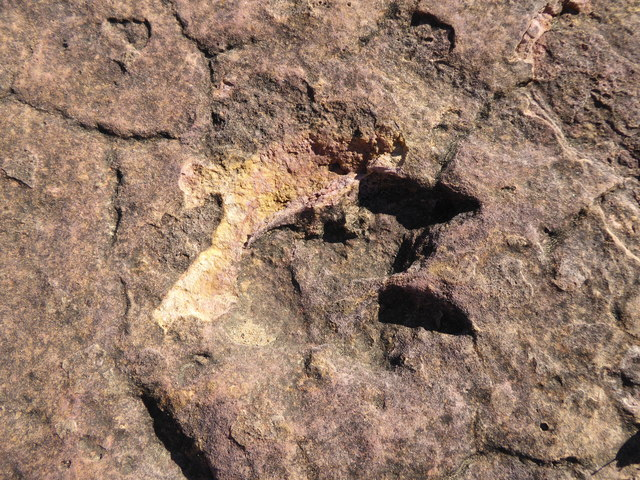 A two toed dinosaur track, possibly some sort of coelurosaur?