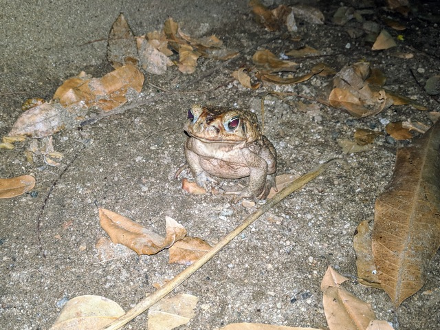 Random toad on the way home at night