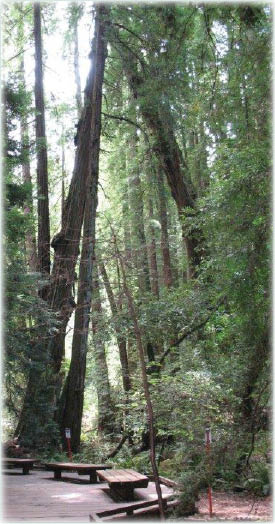 trees at Muir Woods