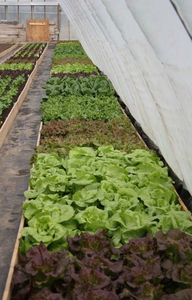 organic lettuce growing