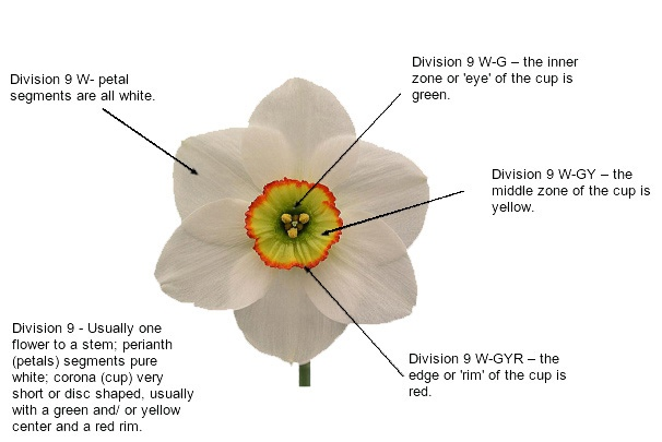 Daffodil Divisions