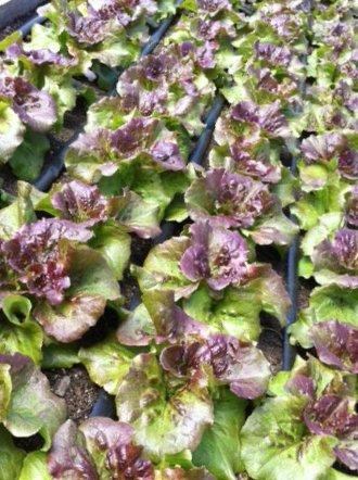 Organic Head Lettuce
