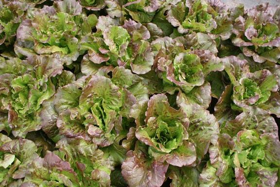 organic lettuce heads